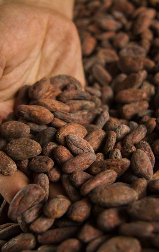 Une main plonge des les fèves de cacao torréfié