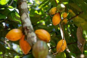 Cabosses de cacao sur les collines d'Idukki