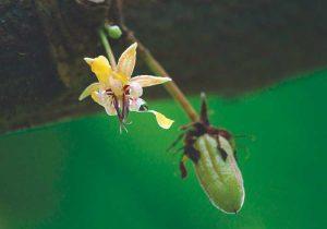 Fleur de cacao sur la plantation mexicaine de la Sierra Madre de Chiapas